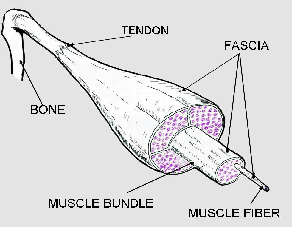 Fascia surrounds all aspects of muscle.