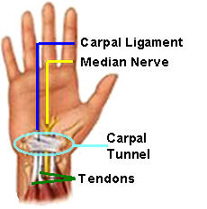 Carpal Tunnel Median Nerve & Tendons